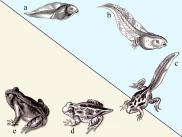 Metamorphosis_frog